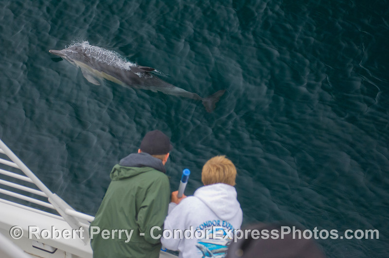Team GoPro on the job with friendly Common Dolphins (<em>Delphinus capensis</em>).