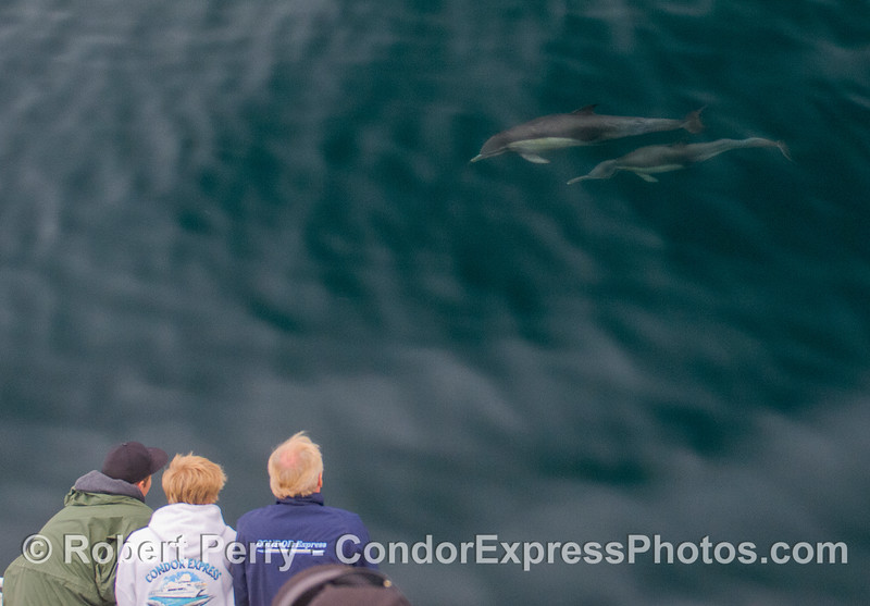 Two Common Dolphins (<em>Delphinus capensis</em>) take a look at Team GoPro.