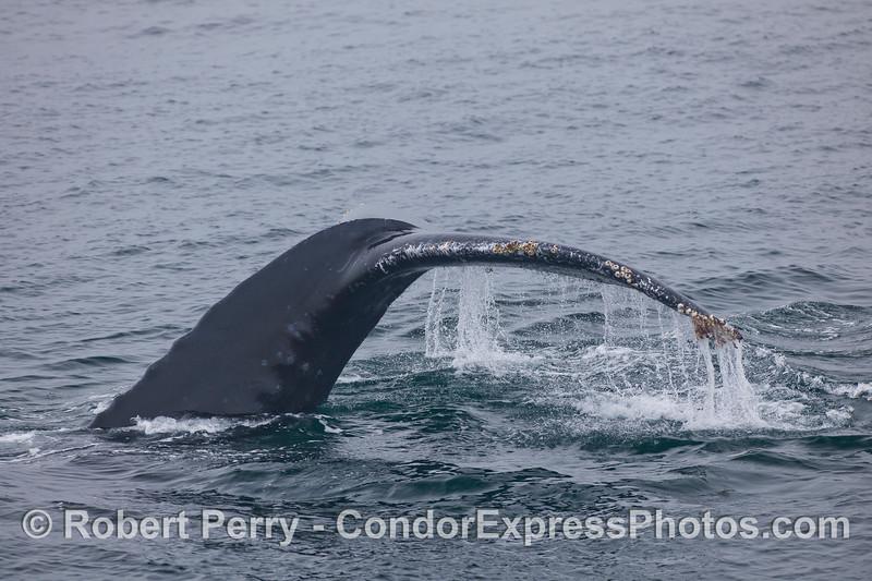Image 1 of 2:  Close look at a Humpback Whale (<em>Megaptera novaeangliae</em>) tail fluke.