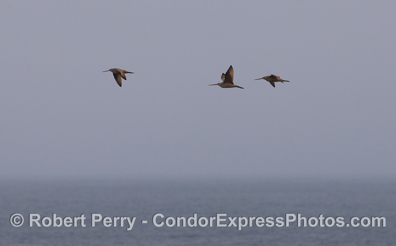 Three Marbled Godwits (<em>Limosa fedoa</em>), usually found on the beach, are seen dozens of miles offshore.