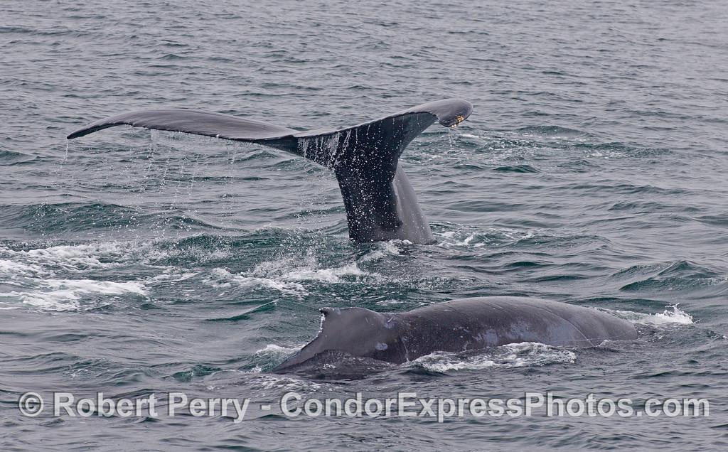 Image 2 of 2:  Two Humpback Whales (<em>Megaptera novaeangliae</em>).