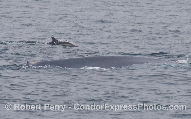 Two cetaceans ride together:  a Common Dolphin (<em>Delphinus capensis</em>) accompanies a Blue Whale (<em>Balaenoptera musculus</em>).