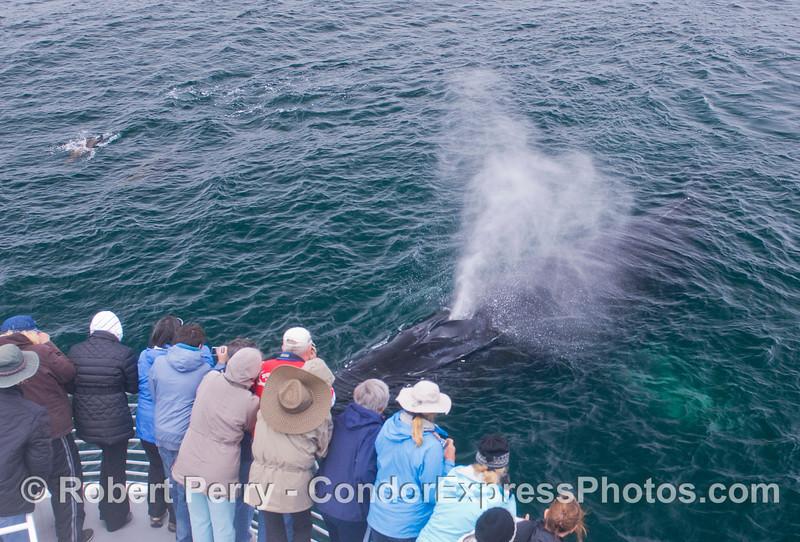 For those that had never been annointed, A Humpback Whale (<em>Megaptera novaeangliae</em>) sprays the Humans (<em>Homo sapiens</em>).  A small group of California Sea Lions (<em>Zalophus californianus</em>) can be seen on the left side.
