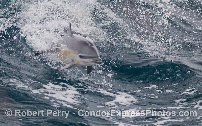 A young Common Dolphin (<em>Delphinus delphis</em>) takes off like a rocket.