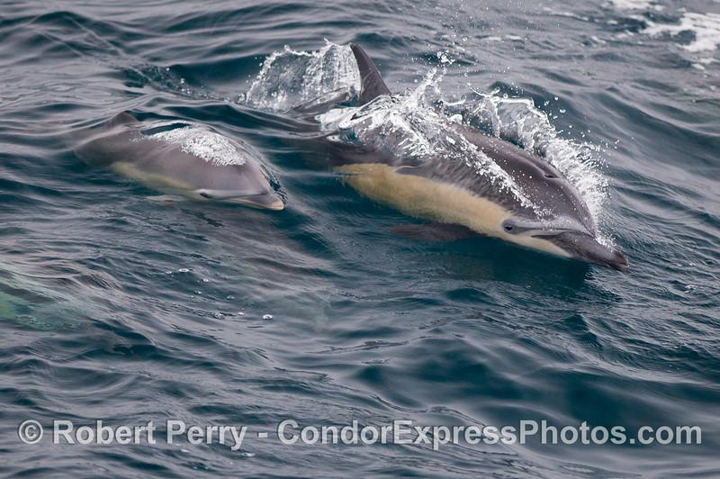Mother and calf Common Dolphins (<em>Delphinus delphis</em>).