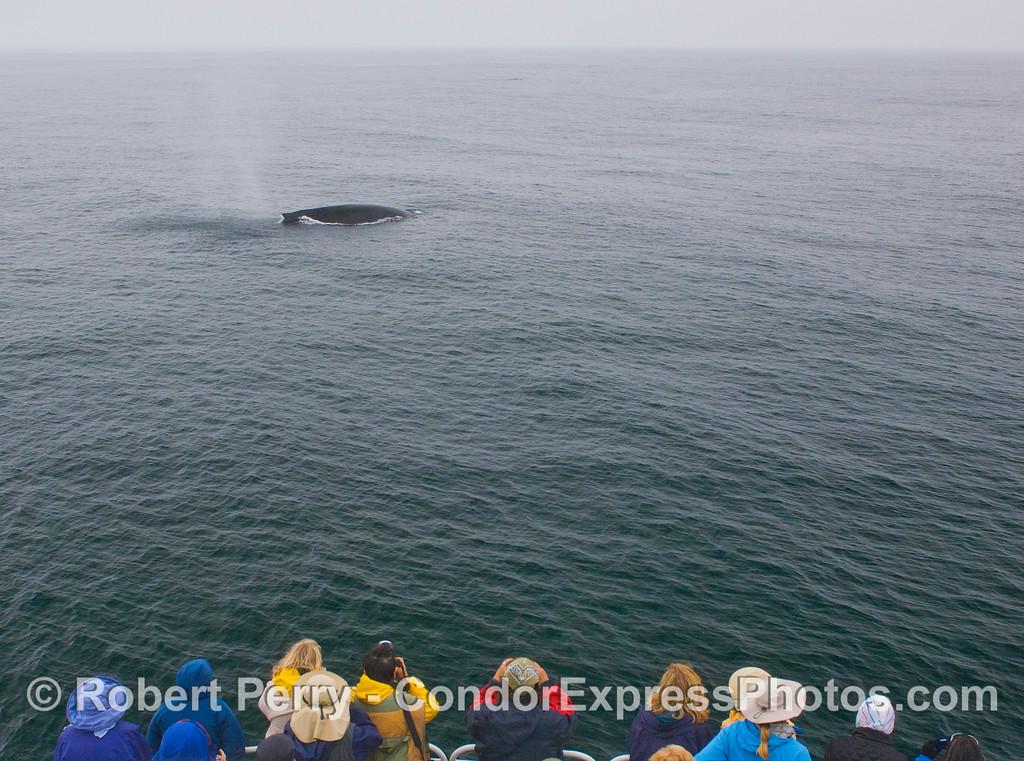 A Humpback Whale (<em>Megaptera novaeangliae</em>) visits the Humans (<em>Homo sapiens</em>).