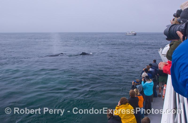 Humpback Whales (<em>Megaptera novaeangliae</em>) all around.