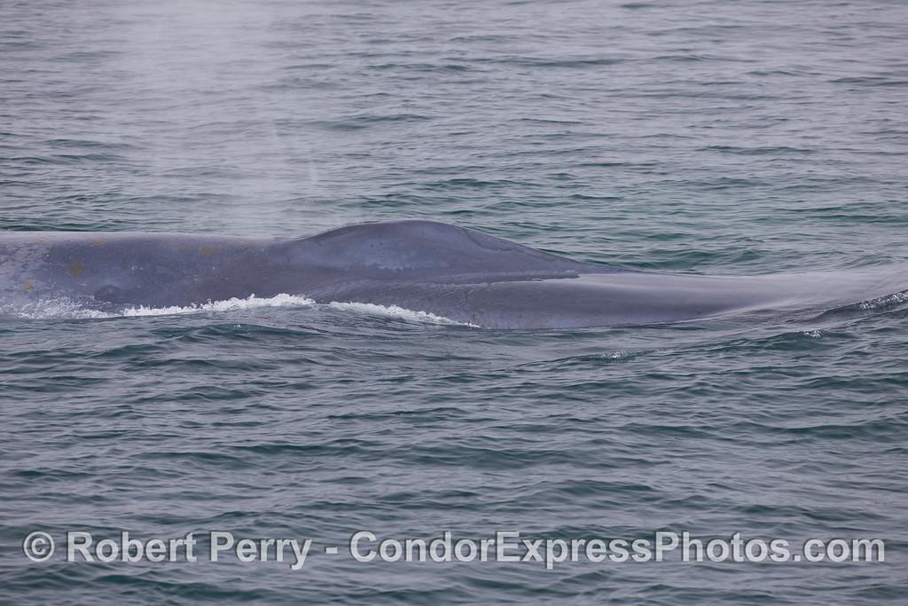 Blue Whale (<em>Balaenoptera musculus</em>) profile showing the splash guard.