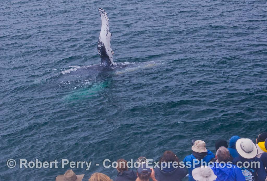 A large Humpback Whale (<em>Megaptera novaeangliae</em>) gives a traditional Humpback salute.