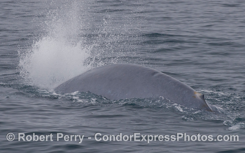 This individual Blue Whale (<em>Balaenoptera musculus</em>) let loose a big blast of air every time it started its deep dive.