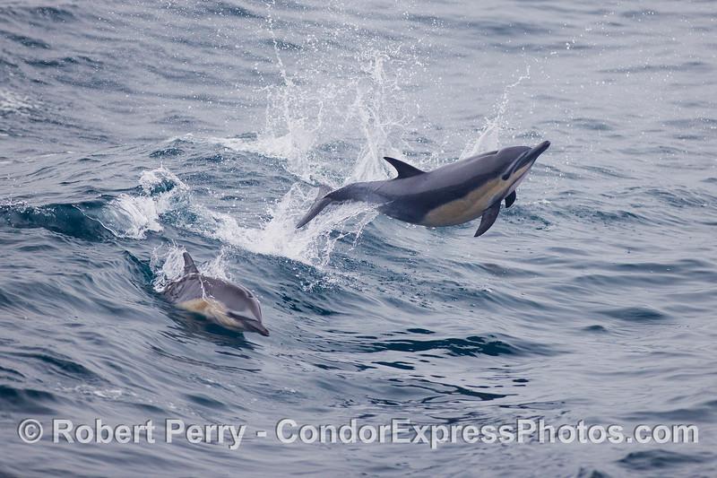 Yee-hah!  A Common Dolphin (<em>Delphinus capensis</em>) leaps across the waves.