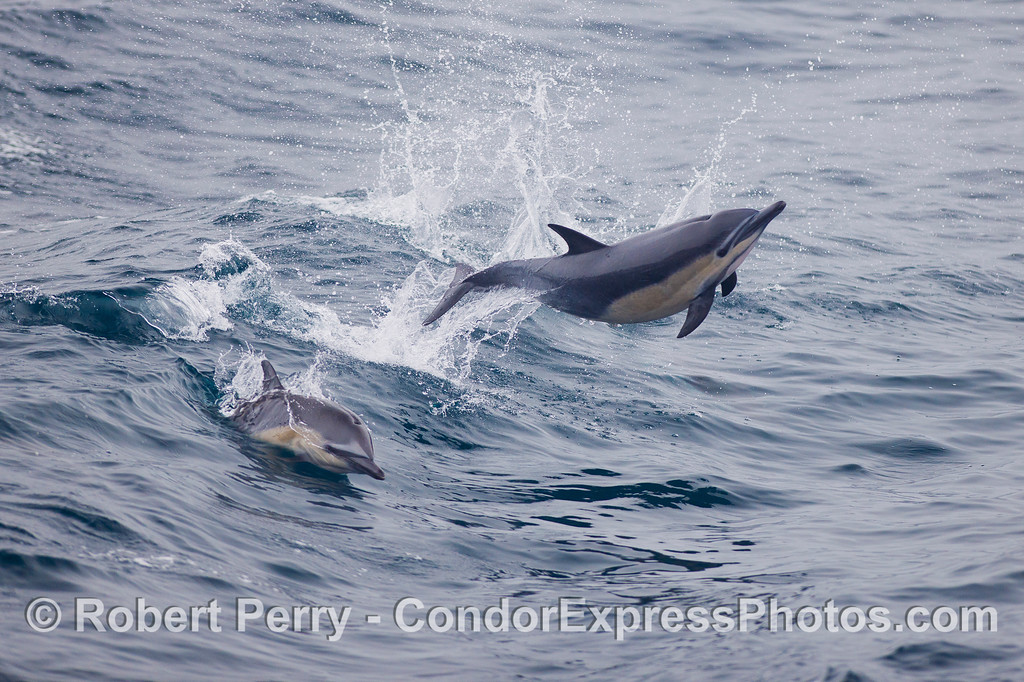 Yee-hah!  A Common Dolphin (<em>Delphinus capensis</em>) leaps across the waves.