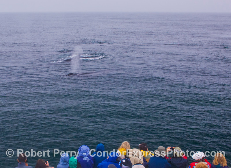 Multiple Humpback Whales (<em>Megaptera novaeangliae</em>) visit the Humans (<em>Homo sapiens</em>).