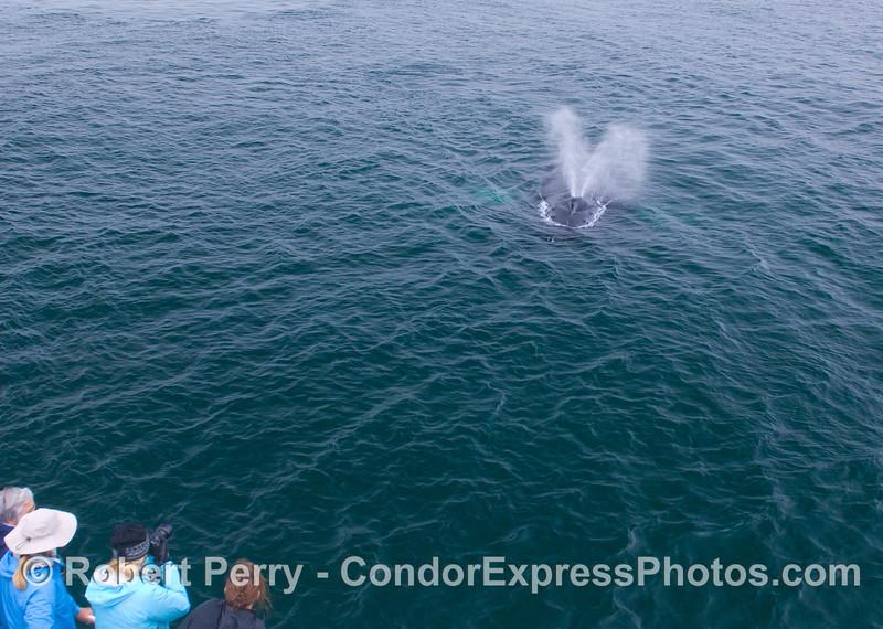 A Humpback Whale (<em>Megaptera novaeangliae</em>) heads straight for the Humans (<em>Homo sapiens</em>).