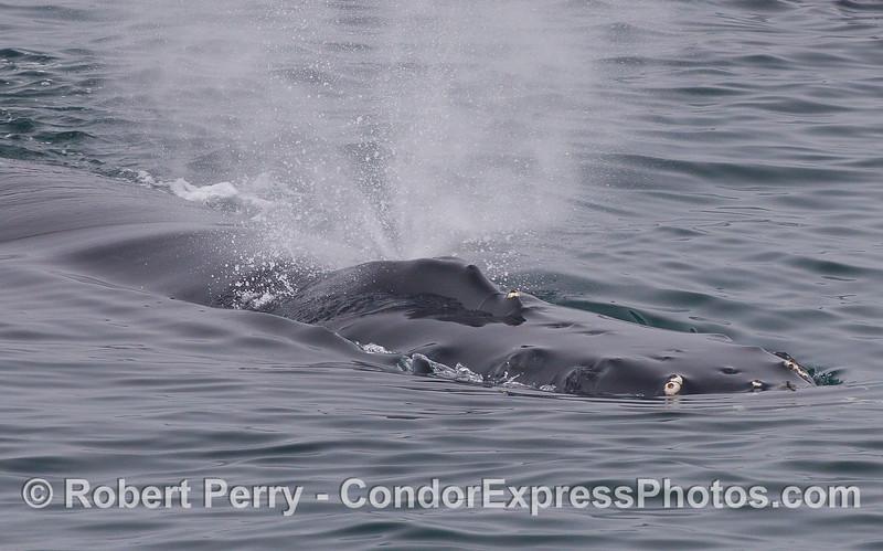 Close look at the head and spout of a Humpback Whale (<em>Megaptera novaeangliae</em>).