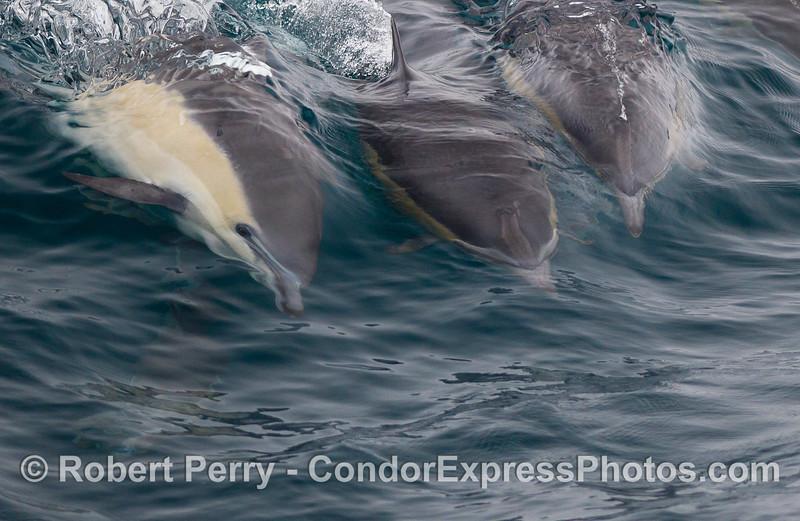 Common Dolphins (<em>Delphinus delphis</em>) ride the waves.