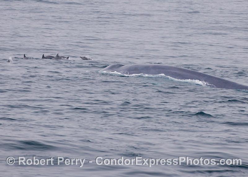 Even more Common Dolphins (<em>Delphinus capensis</em>) ride the bow of a giant Blue Whale (<em>Balaenoptera musculus</em>).