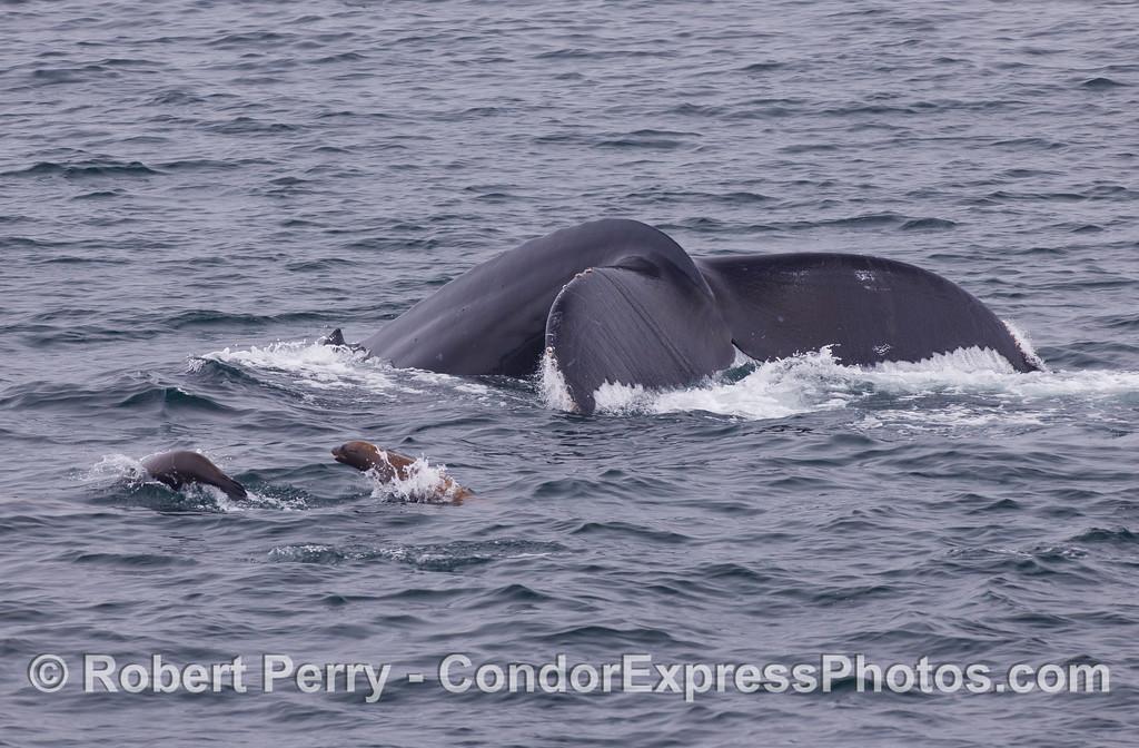 Humpback Whale (<em>Megaptera novaeangliae</em>) with curious California Sea Lions (<em>Zalophus californianus</em>).