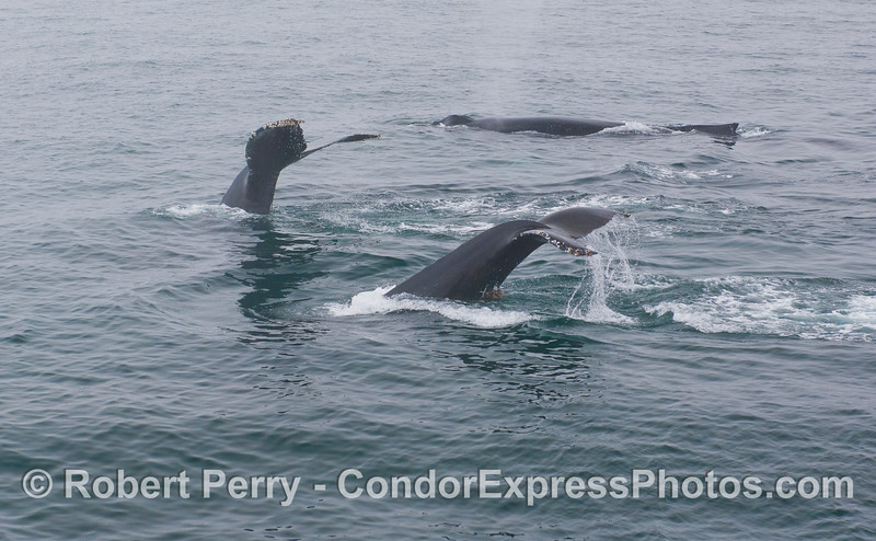 Humpback Whales (<em>Megaptera novaeangliae</em>) a plenty.