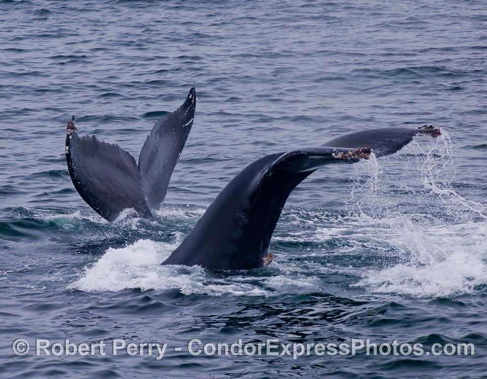 Twice flukes - Humpback Whales (<em>Megaptera novaeangliae</em>).s