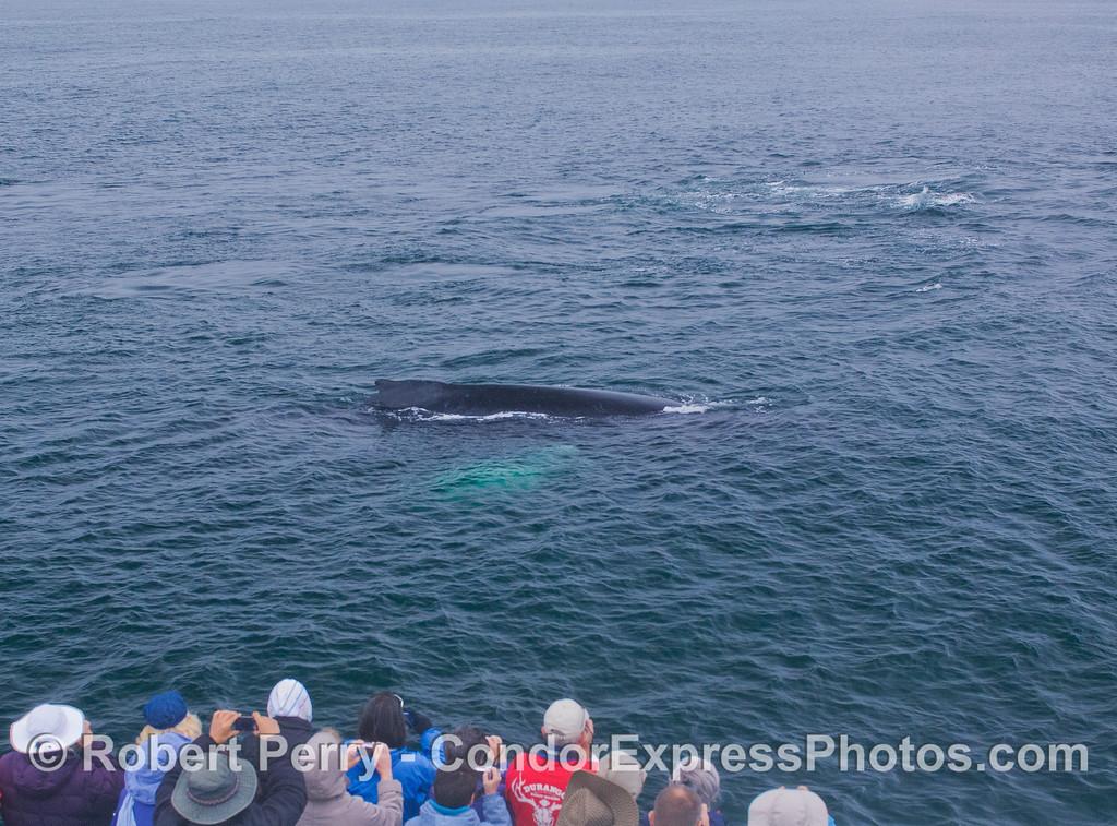 A close Humpback Whale (<em>Megaptera novaeangliae</em>) visit.