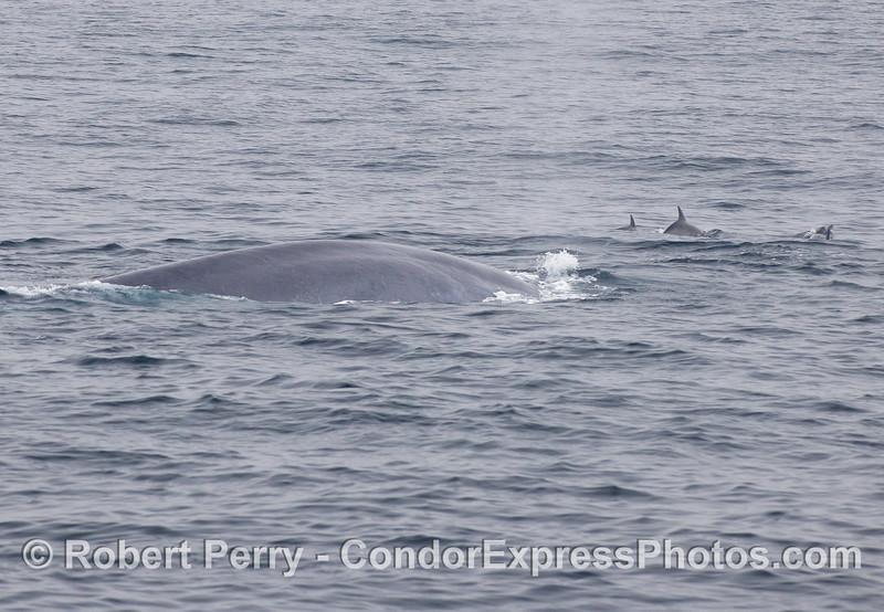 More Common Dolphins (<em>Delphinus capensis</em>) ride the bow of a giant Blue Whale (<em>Balaenoptera musculus</em>)..