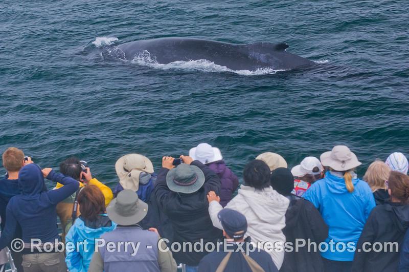 Humpback Whale (<em>Megaptera novaeangliae</em>) close encounter.