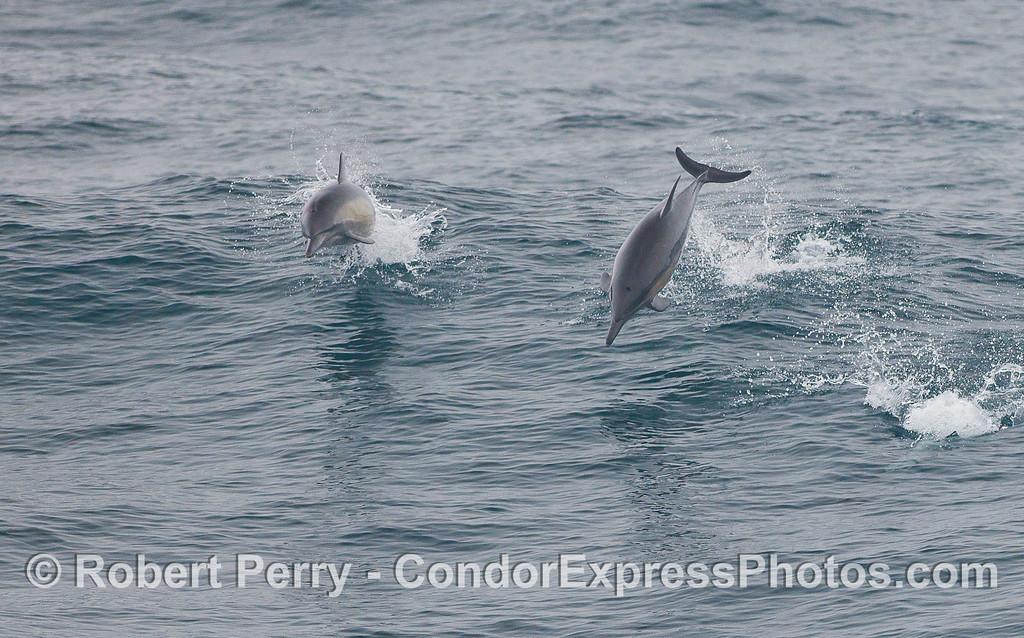 Common Dolphins (<em>Delphinus delphis</em>) doing their tricks.