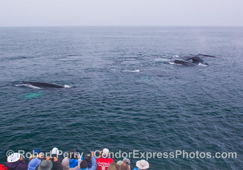 Humpback Whales (<em>Megaptera novaeangliae</em>) arrive <em>en masse</em> to see the Humans (<em>Homo sapiens</em>).