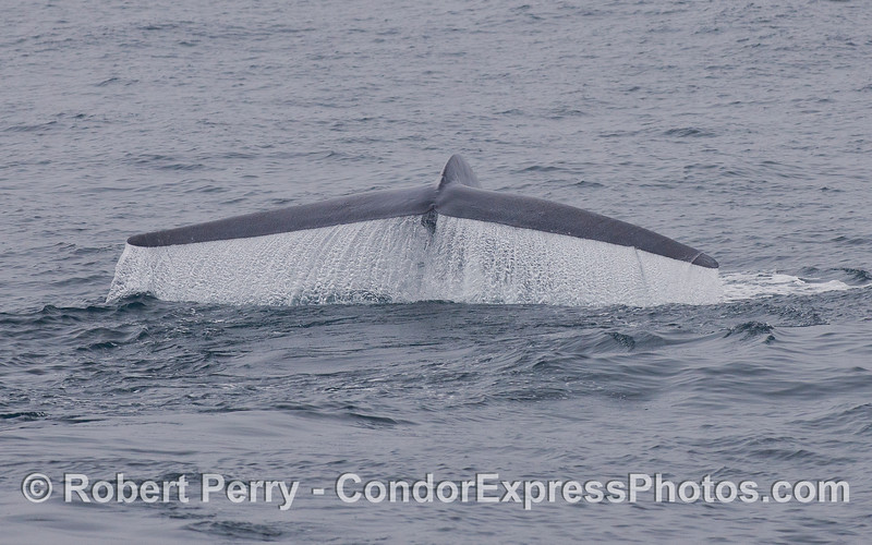 The mighty tail of a Blue Whale (<em>Balaenoptera musculus</em>) creates a spectacular waterfall.
