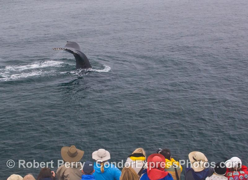 A Humpback Whale (<em>Megaptera novaeangliae</em>) shows the Humans (<em>Homo sapiens</em>) its tail flukes.