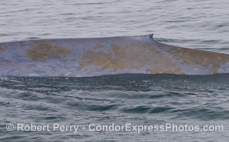 A Blue Whale (<em>Balaenoptera musculus</em>) is host to a diatom film (<em>Cocconeis cetacus</em>).