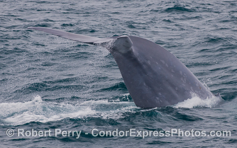 Image 3 of 5:  Tail fluke sequence - Blue Whale (<em>Balaenoptera musculus</em>).