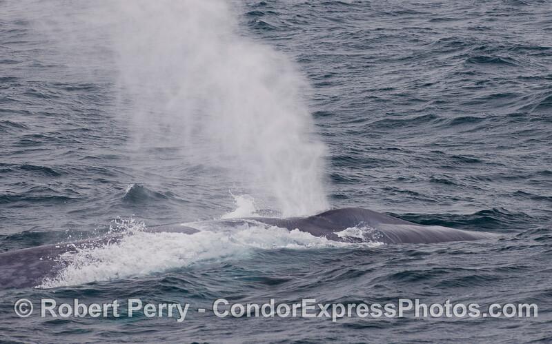 A Blue Whale (<em>Balaenoptera musculus</em>) spouts in the breeze.