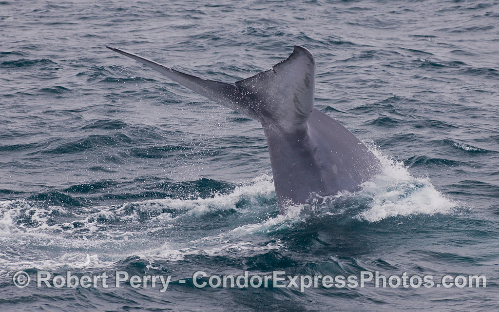 Image 4 of 5:  Tail fluke sequence - Blue Whale (<em>Balaenoptera musculus</em>).