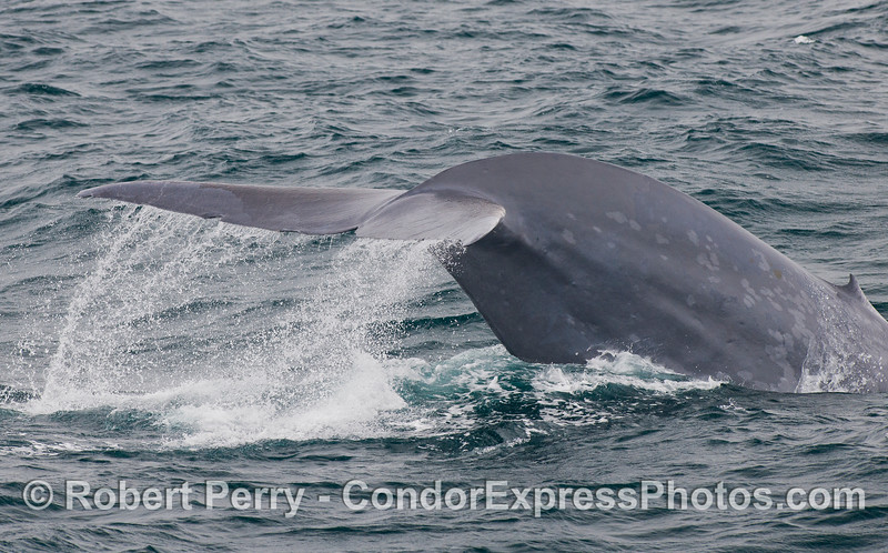Image 2 of 5:  Tail fluke sequence - Blue Whale (<em>Balaenoptera musculus</em>).