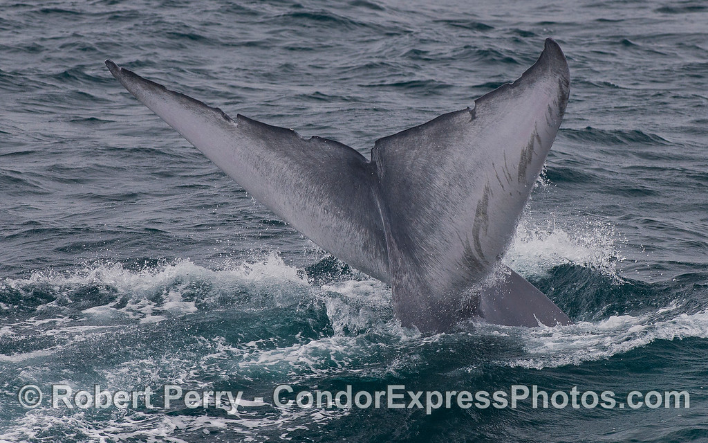 Image 5 of 5:  Tail fluke sequence - Blue Whale (<em>Balaenoptera musculus</em>).