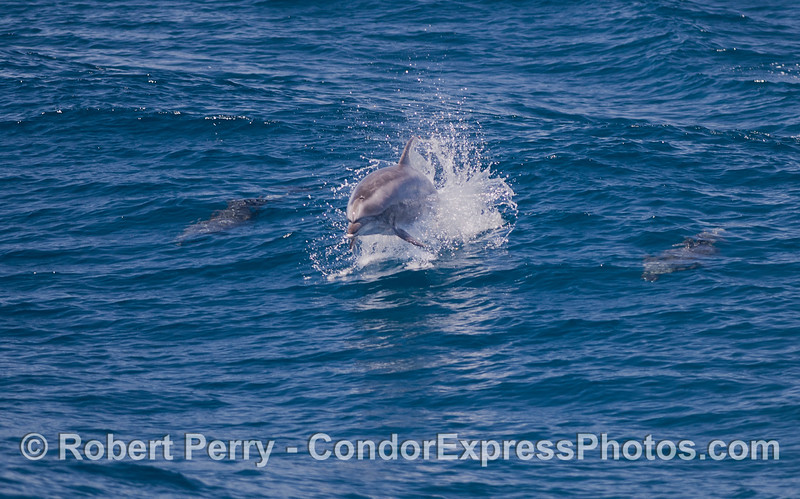 Offshore Bottlenose Dolphin (<em>Tursiops truncatus</em>).