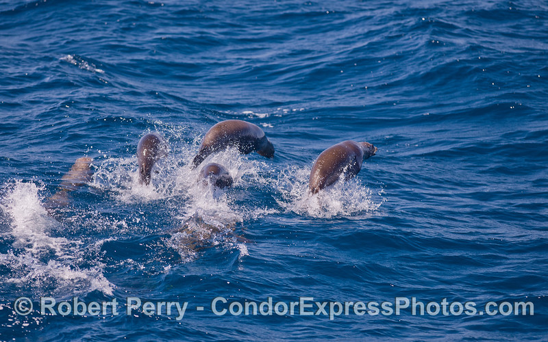 A herd of California Sea Lions (<em>Zalophus californianus</em>) on the move.