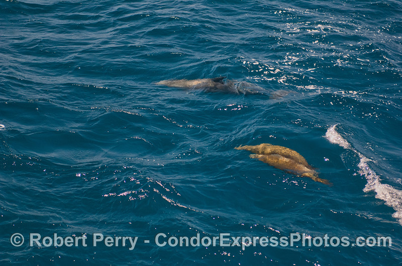 A Offshore Bottlenose Dolphin (<em>Tursiops truncatus</em>) and two brown furry brothers, California Sea Lions (<em>Zalophus californianus</em>).