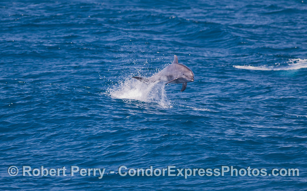 Offshore Bottlenose Dolphin (Tursiops truncatus).