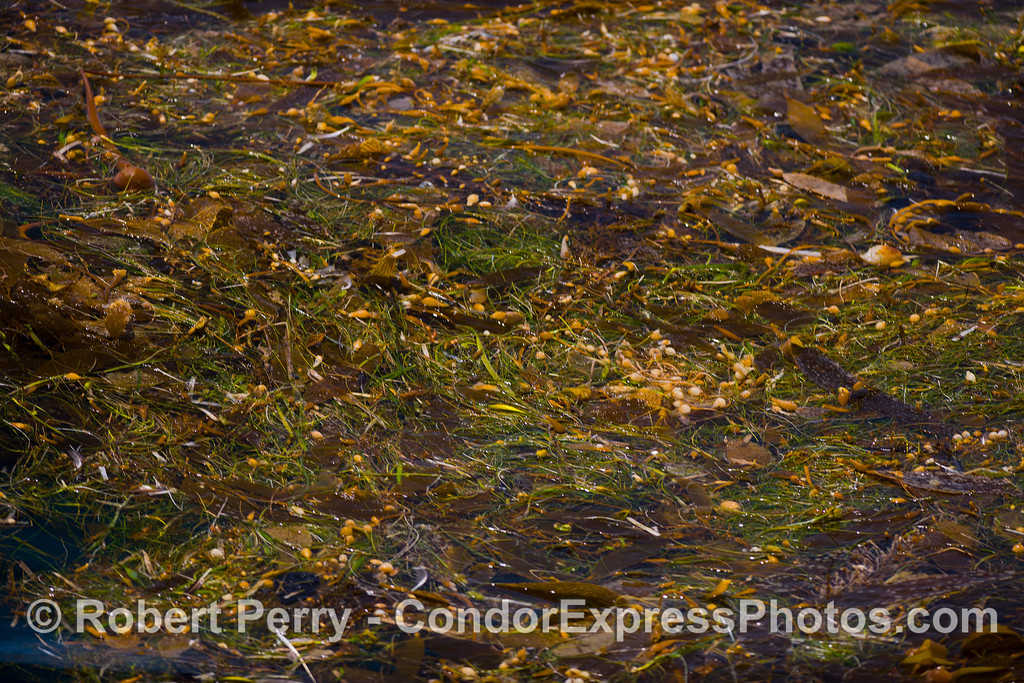 """<em>Macrocystis, Zostera, Egregia</em> and <em>Phyllospadix</em> jumble together to form this large """"kelp paddy"""" drifting freely on the open ocean.  Kelp paddies harbor many small invertebrates, the provide shelter for numerous fish and pinnipeds.  Birds often rest on paddies on the high seas.  And many species of seaweeds continue to produce spores and potentially colonize new habitats downstream from their original home attached to the sea floor.  Kelp also played a major role in the migration and success of prehistoric humans."""