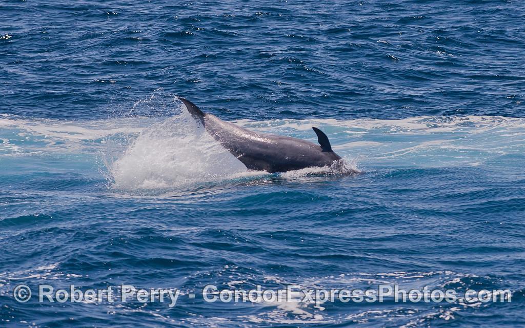 Tail slappin' Offshore Bottlenose Dolphin (<em>Tursiops truncatus</em>).