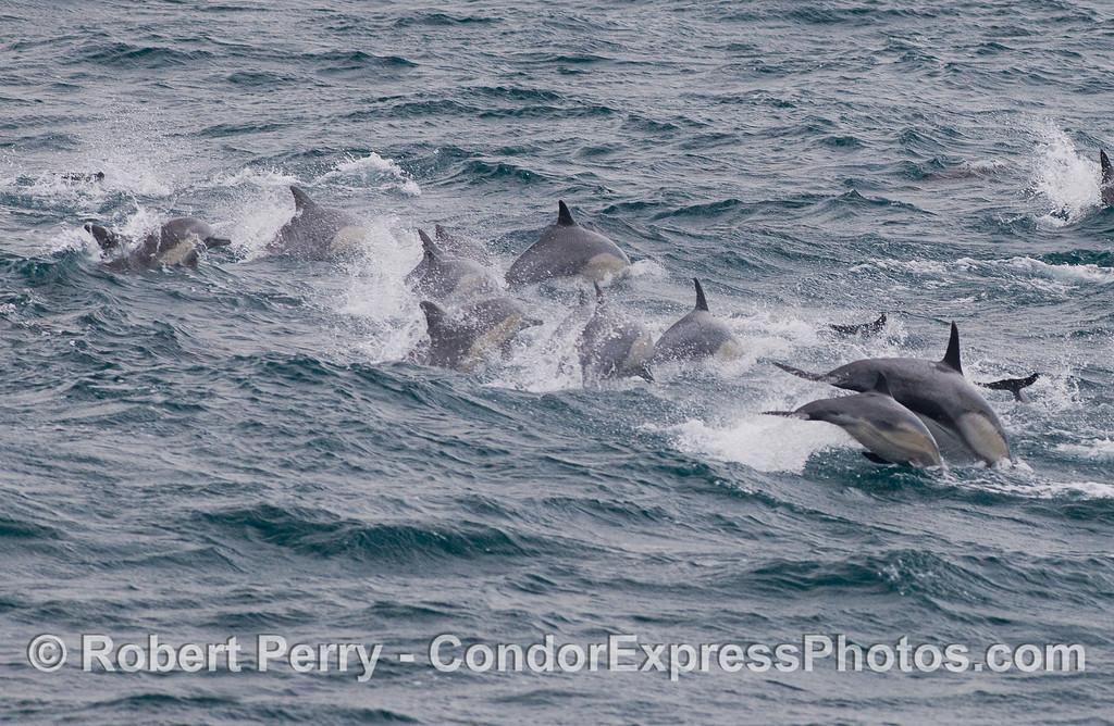 Common Dolphins (<em>Delphinus capensis</em>) in choppy seas.