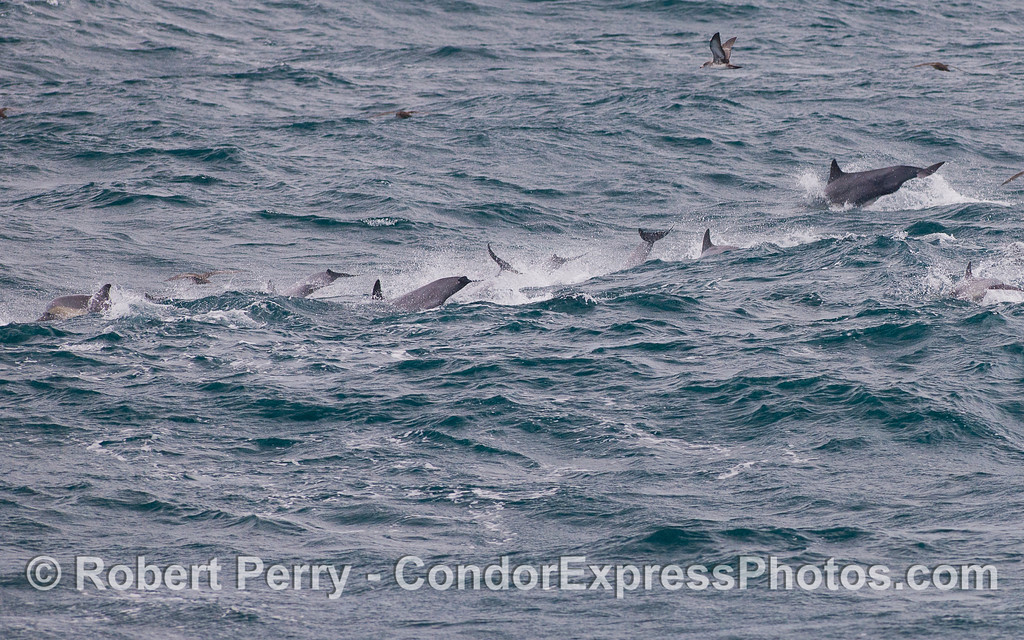 Common Dolphins (<em>Delphinus capensis</em>) tails showing as they head down the face of a wave.