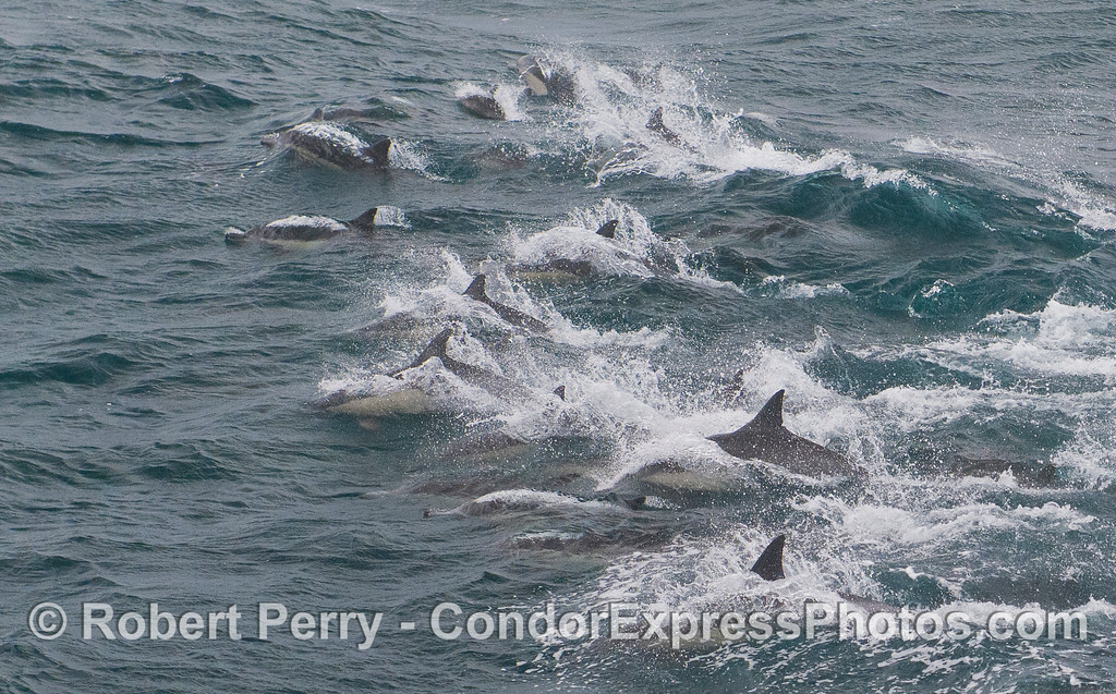 The frontal edge of a herd of Common Dolphins (<em>Delphinus capensis</em>).