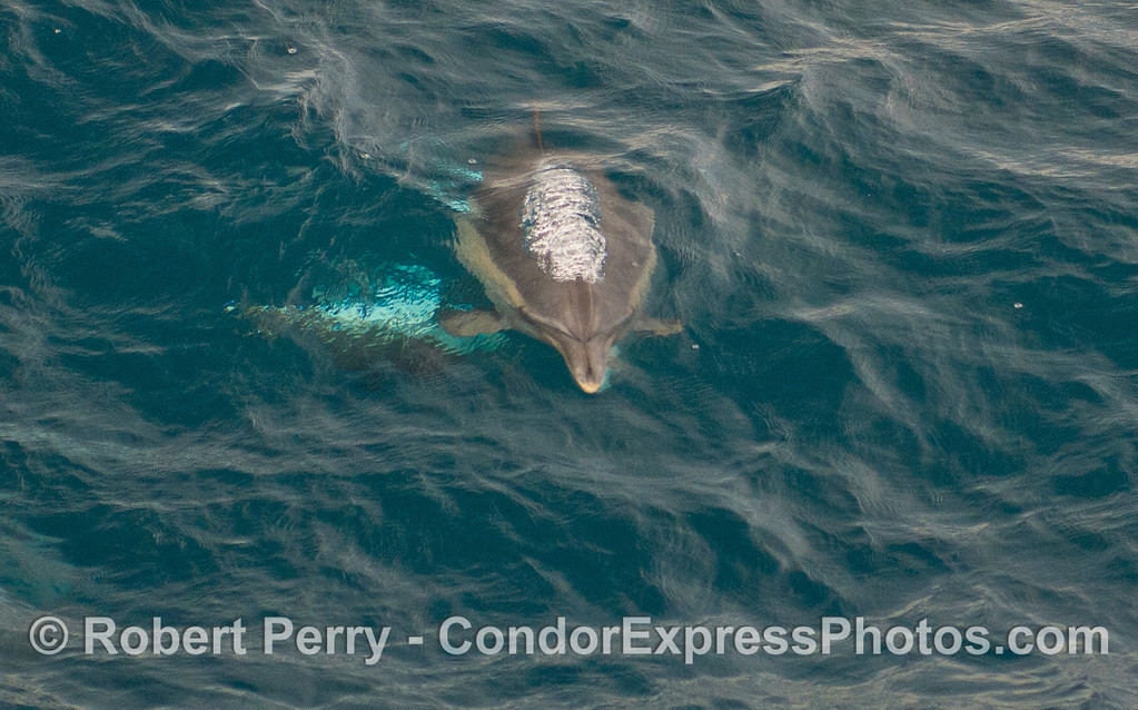 Common Dolphin (<em>Delphinus capensis</em>) heading at the camera.