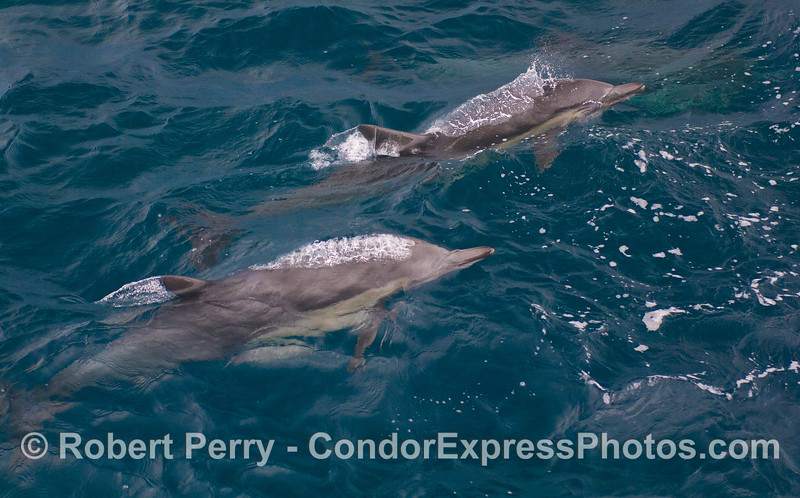 Two Common Dolphins (<em>Delphinus capensis</em>) bubbling up to the surface.