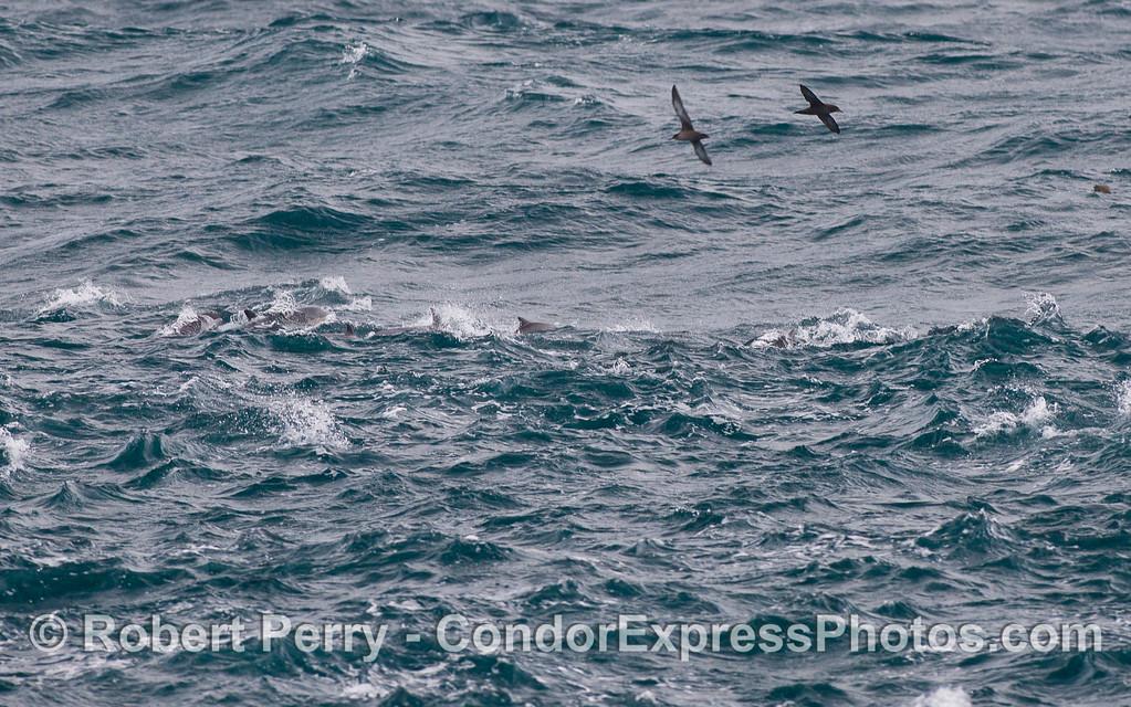 Sooty Shearwaters (<em>Puffinus griseus</em>) soar above the Common Dolphins (<em>Delphinus capensis</em>).