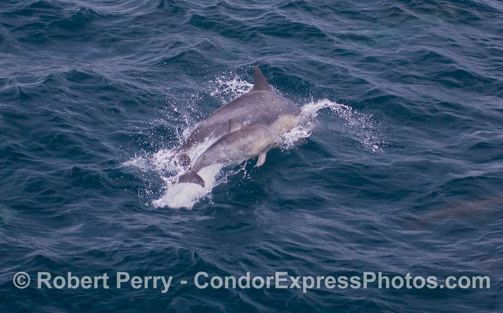 Mother and her calf - Common Dolphins (<em>Delphinus capensis</em>).